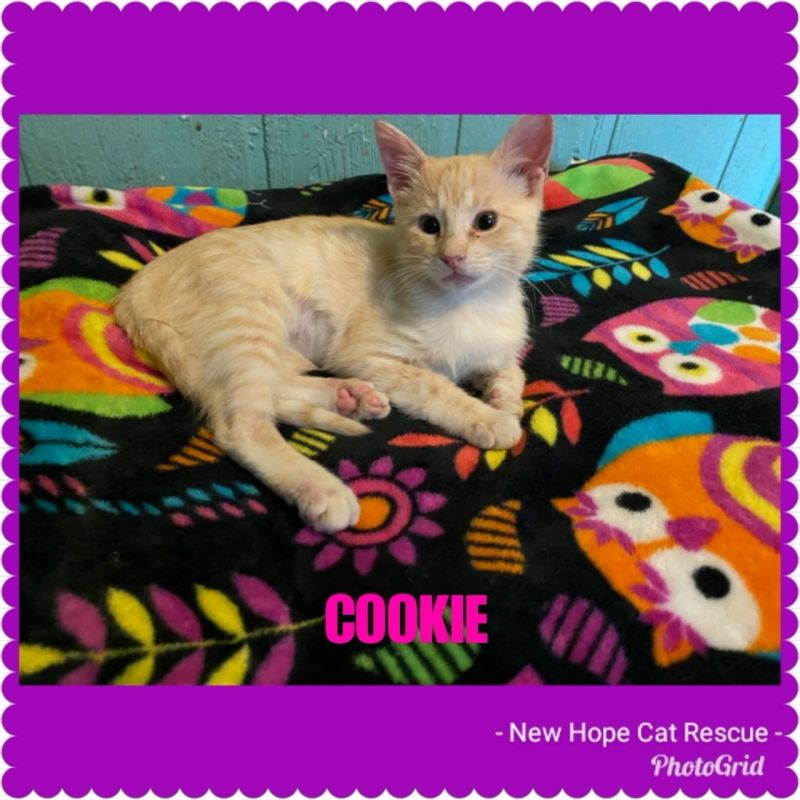 Cookie - New Hope Cat Rescue